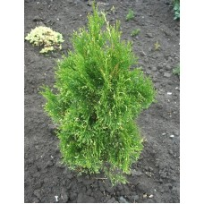 Thuja occidentalis 'Spotty Smaragd'